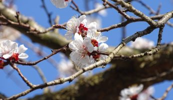 Marillenblüte Marillenbaum Frühling