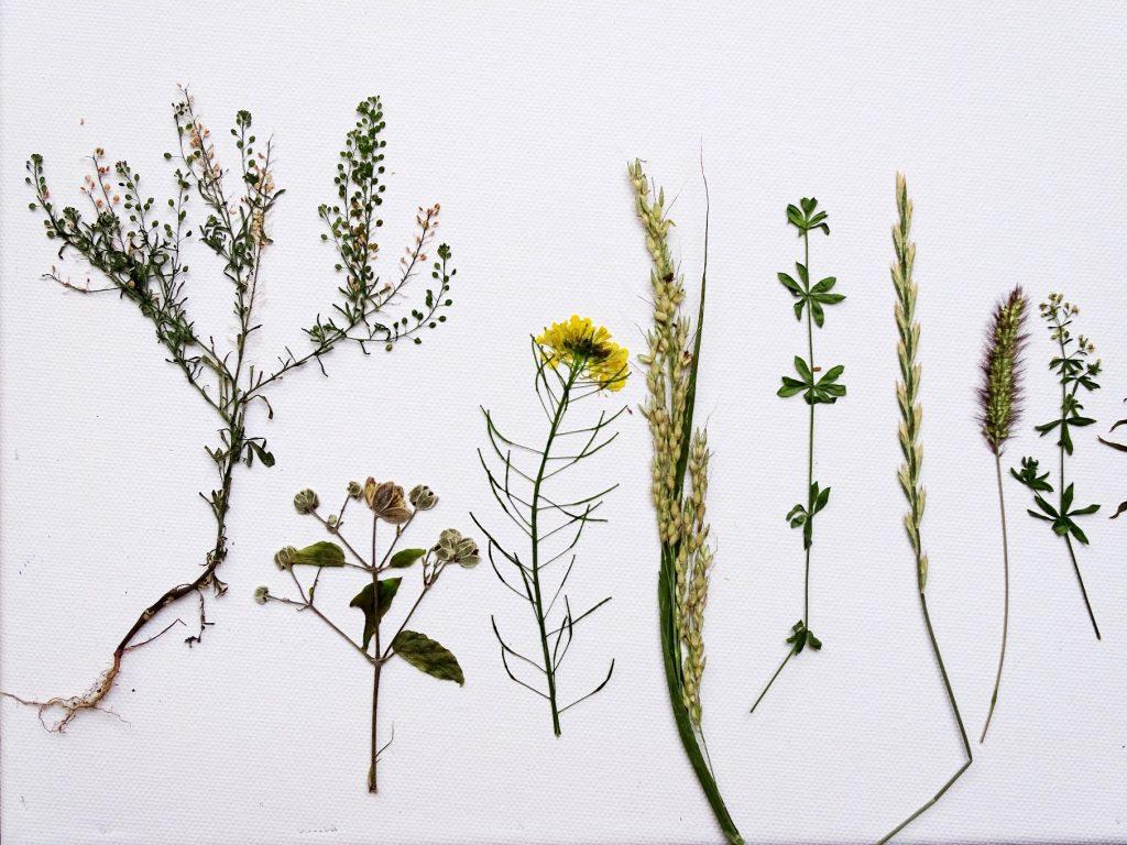 Pflanzen pressen