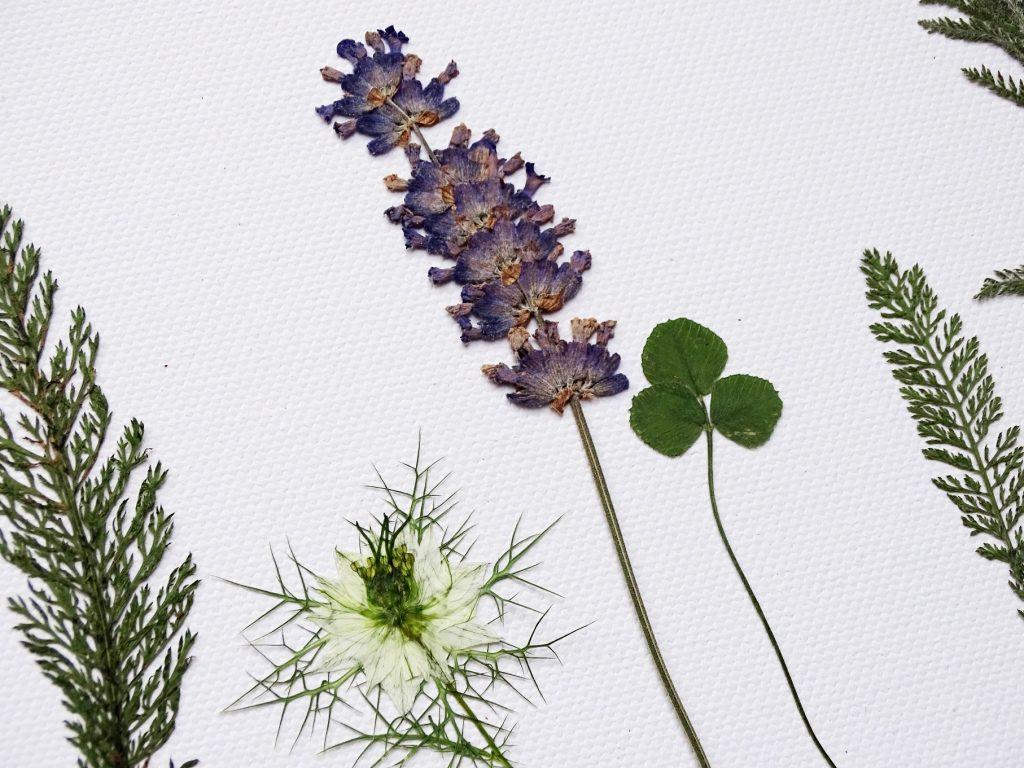 Lavendel pressen