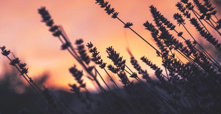 Sonnenuntergang über einem Lavendelfeld: Mamablogger VlikeVeronika erzählt über den Orientierungsverlust von Ameisen in Lavendelfeldern
