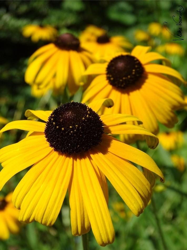 Gelbe Blume mit schwarzem Köpfchen - was ist das? Der gewöhnliche Sonnenhut!