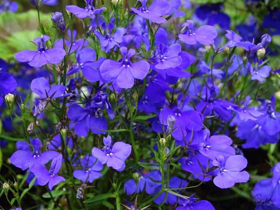 Welche blauen Gartenblumen gibt es? Männertreu zum Beispiel. Ein schöner Bodendecker in Blau.
