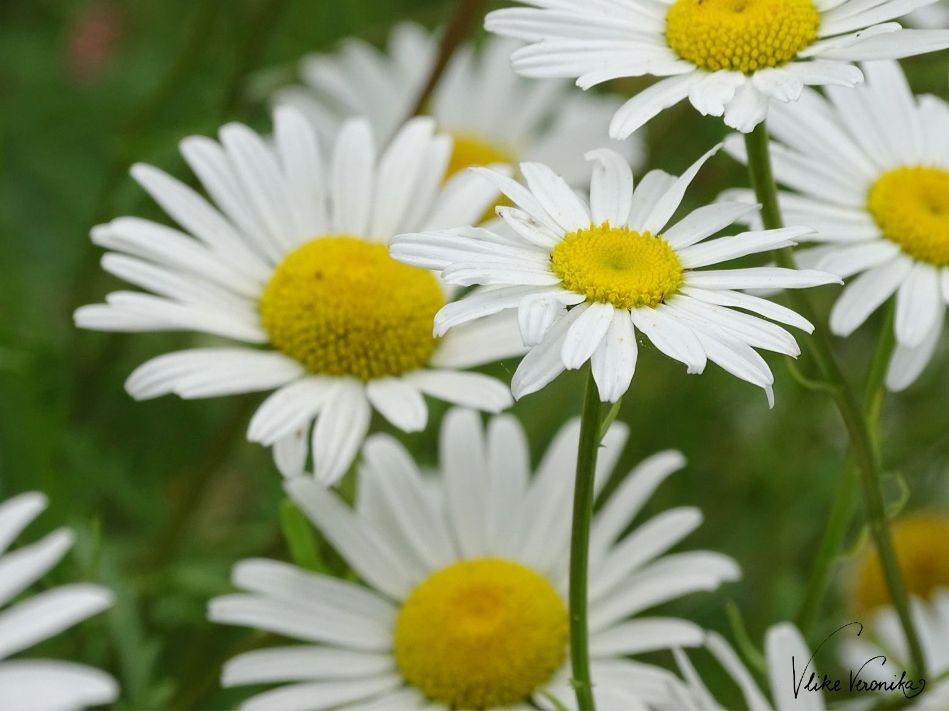 Der Duft der weißen Margeriten lockt Bienen in den Garten