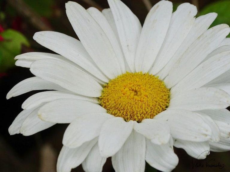 Die Margerite ist eine elegante weiße Blume für den Landhausgarten