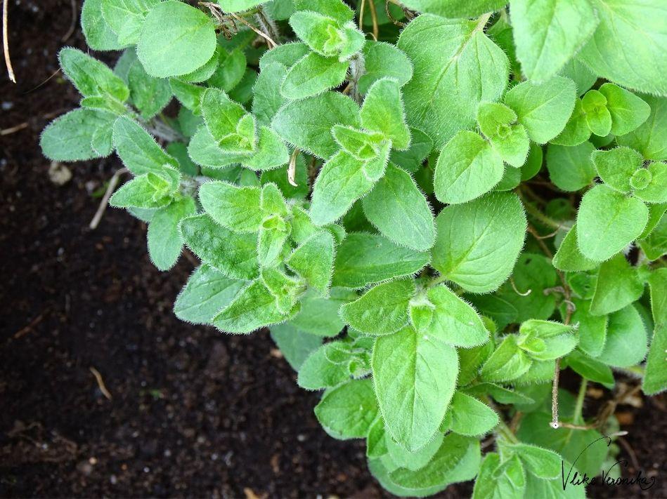 So pflanzt Du Oregano im Hochbeet erfolgreich an.