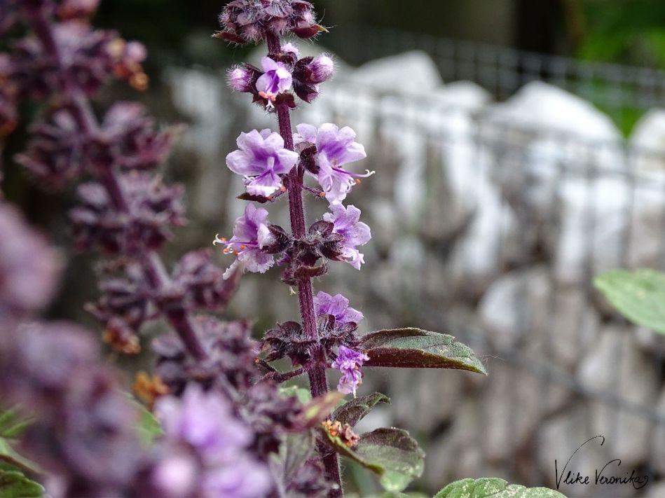 Oregano kann ausblühen und trägt dann - je nach Sorte - eine sehr zarte weißliche bis violette Blüte