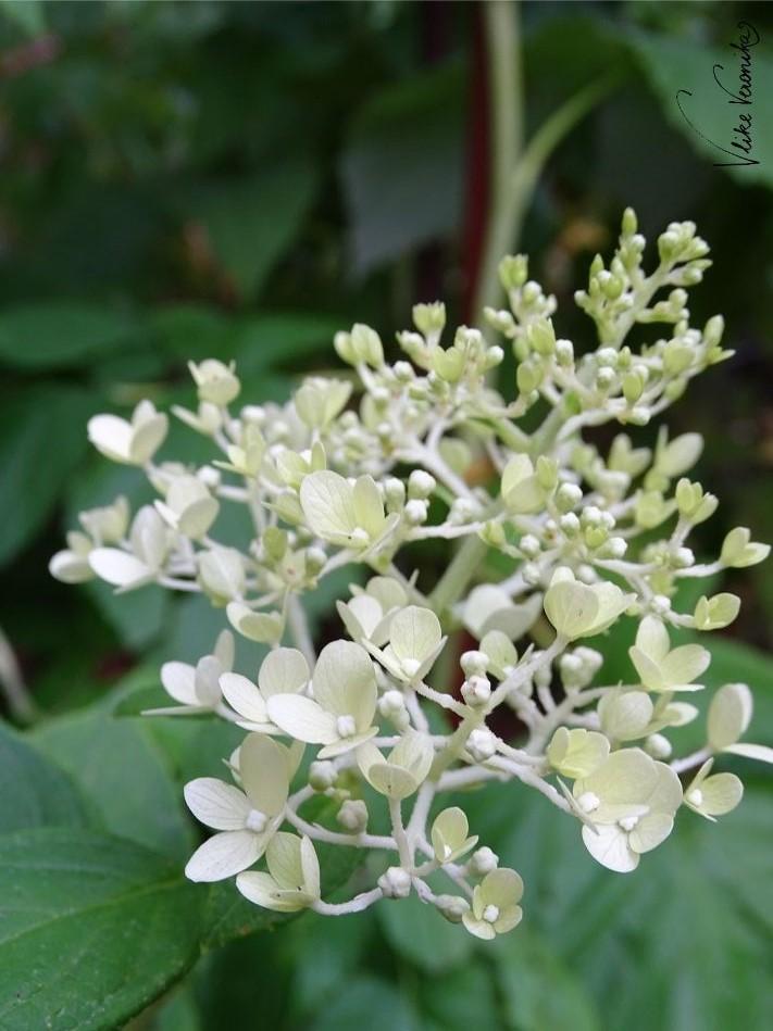 Die Rispenhortensie hat zarte Blüten und liebt, wie auch die Bauernhortensie kräftiges Gießen und einen halbschattigen Standort.