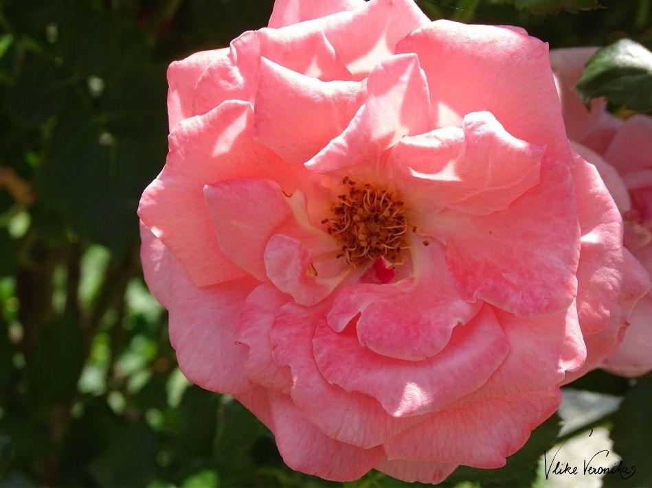 Die Rose blüht in vielen verschiedenen Farbtönen - hier in Rosa