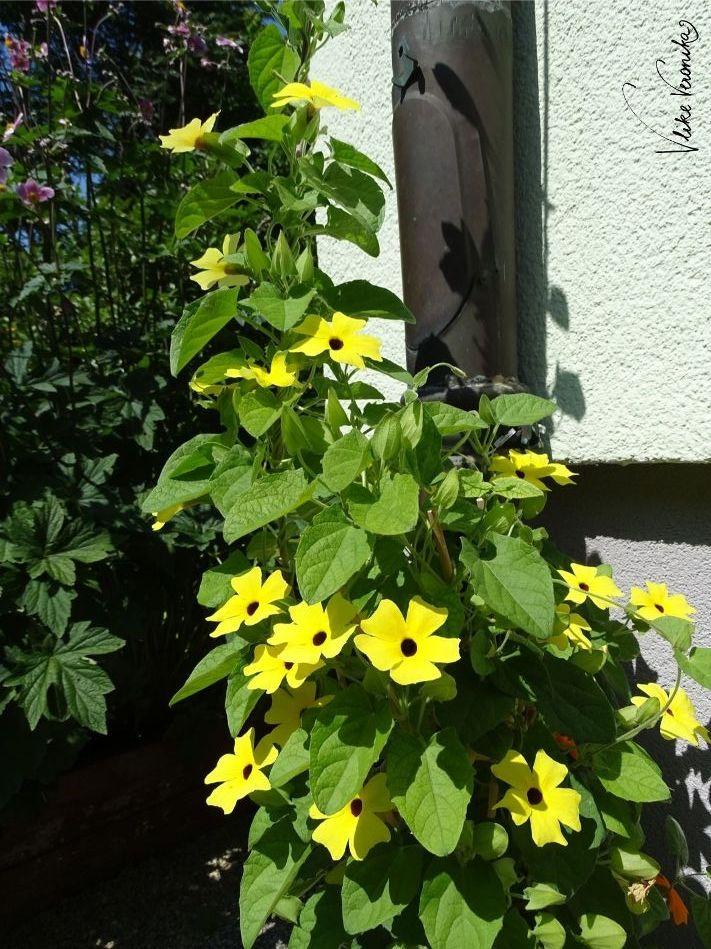 Die Schwarzäugige Susanne ist eine beliebte Kletterpflanze, die hier in leuchtendem Gelb blüht.