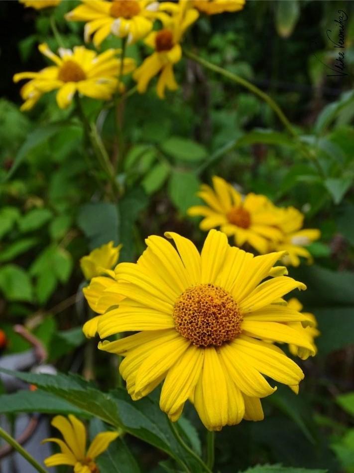 Das Sonnenauge sieht der Mexikanischen Sonnenblume zum Verwechseln ähnlich. Beide sind wunderschöne gelbe Gartenblumen