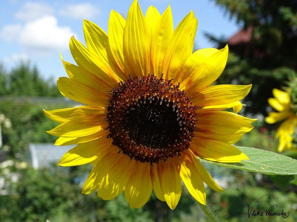 Im Juli und August blüht die Sonnenblume in leuchtendem Gelb.