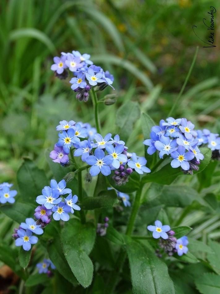 Das blaue Vergissmeinnicht passt in den wilden, englischen Landhausgarten.