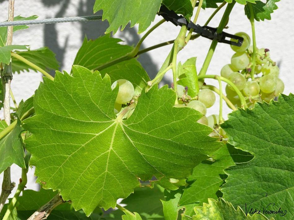 Wein kann im Garten zum Beschatten einer Pergola gepflanzt werden.