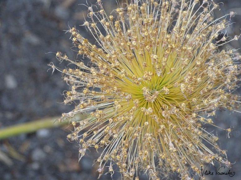 Allium sieht auch verblüht noch sehr hübsch im Garten aus.