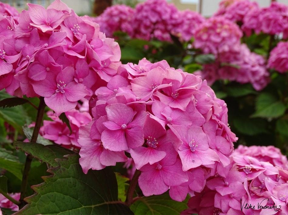 Die rosa Bauernhortensie ist sehr wasserbedürftig und liebt den Halbschatten.